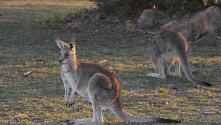 Kangaroos: a common sight at Stromlo